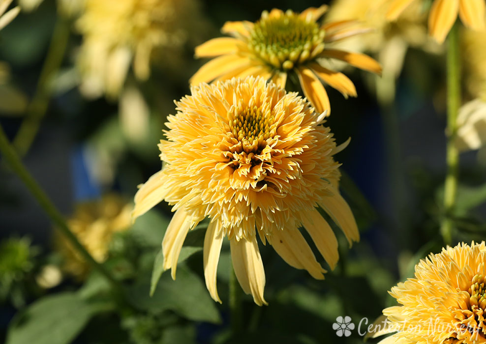 'Double Scoop Lemon Cream' Coneflower
