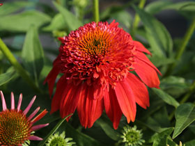 'Double Scoop Mandarin' Coneflower