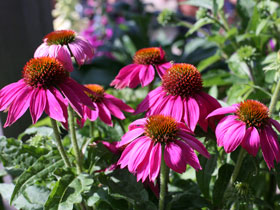 'Pow Wow Wild Berry' Coneflower