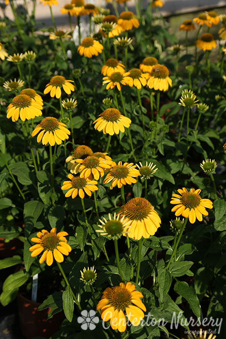 'Sombrero Lemon' Coneflower