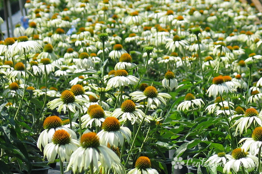 'White Swan' Coneflower