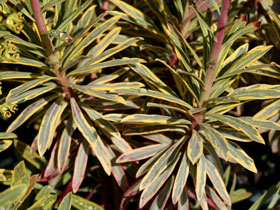 'Ascot Rainbow' Variegated Spurge