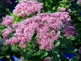 'Little Joe' Joe-Pye Weed