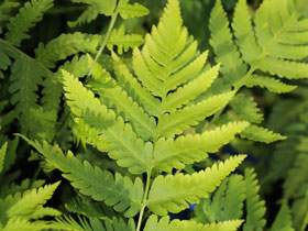 Goldie's Woodfern