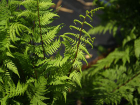 'Lady in Red' Lady Fern