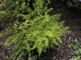 5-Fingered Maidenhair Fern