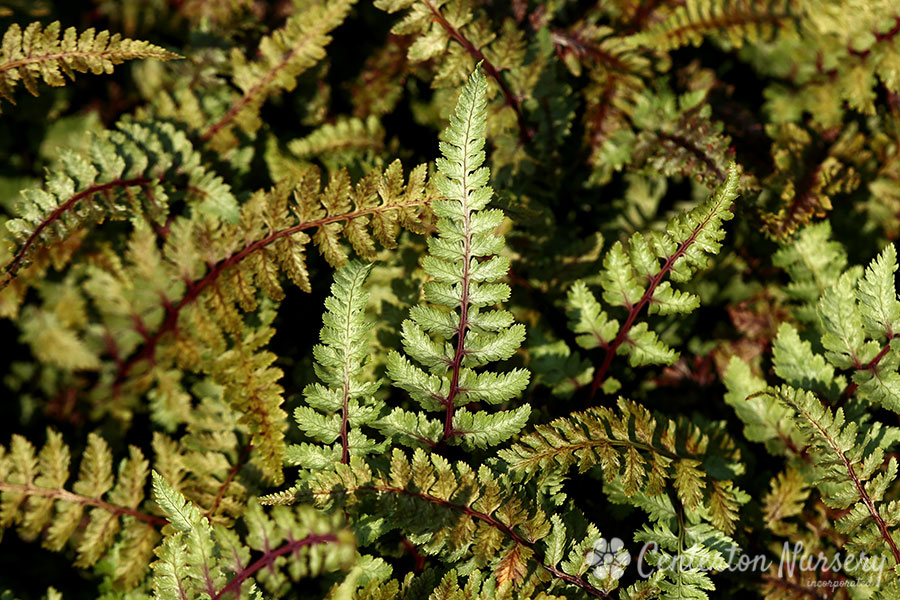 'Regal Red' Painted Fern