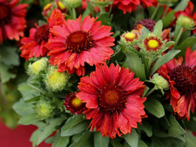 'Mesa Red' Blanket Flower