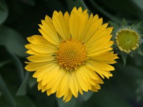 'Mesa Yellow' Blanket Flower
