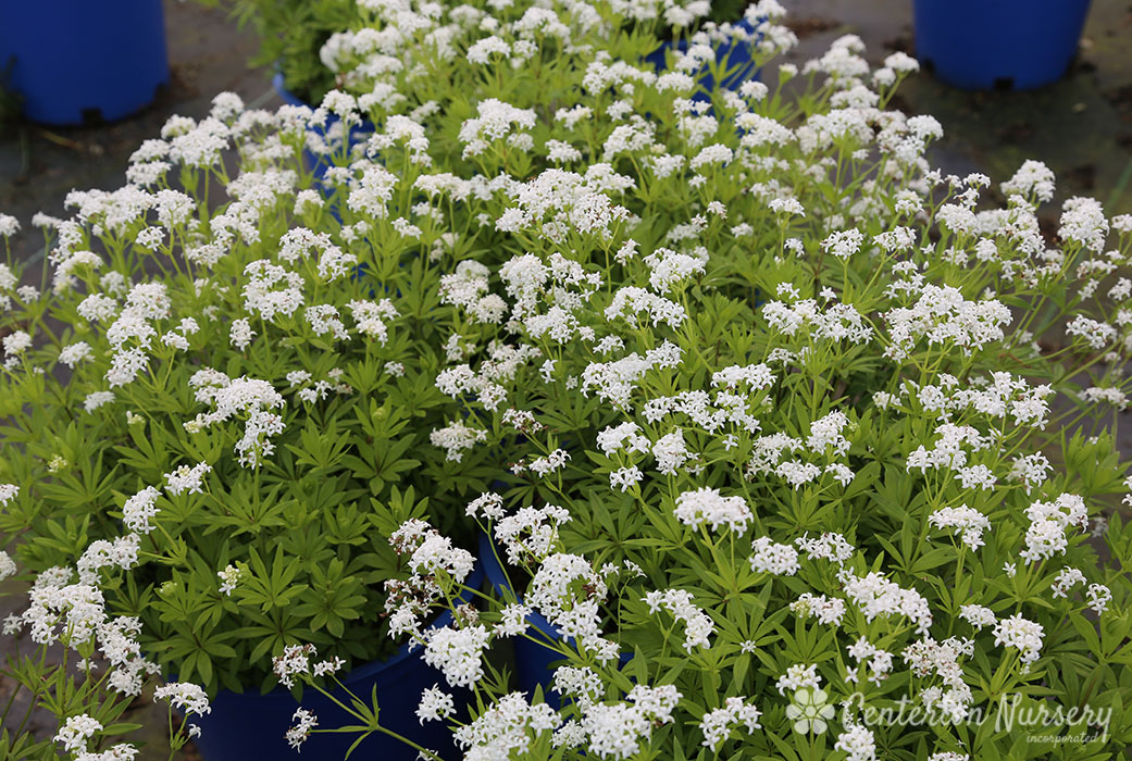 Sweet Woodruff