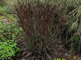 'Blackhawks' Big Bluestem Grass