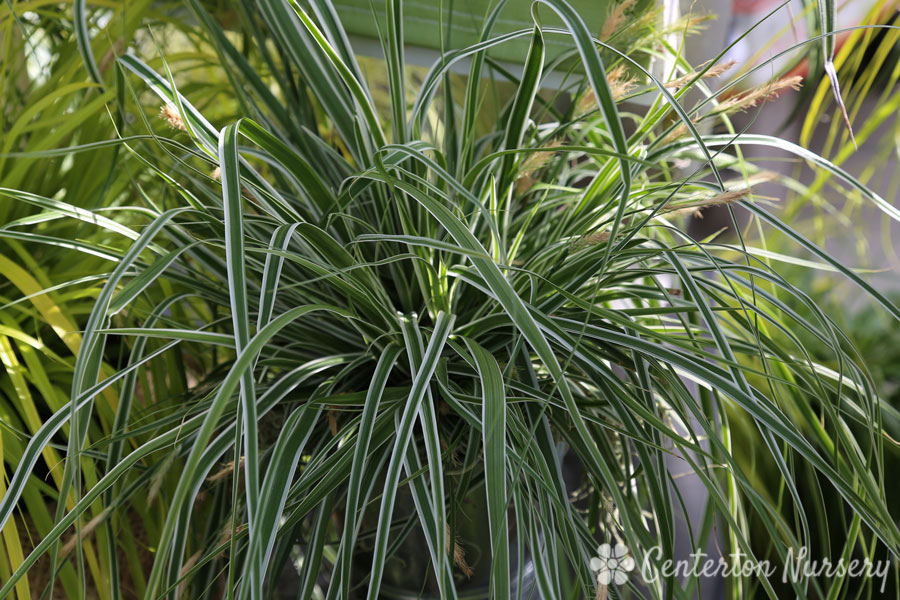 'Everest' Sedge Grass