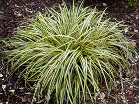 'Gold Strike' Variegated Sedge Grass