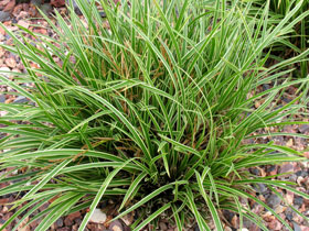 'Ice Dance' Variegated Sedge Grass