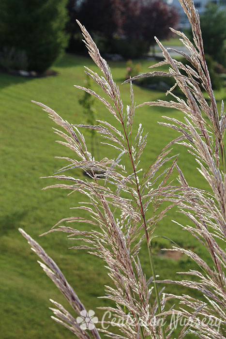 Hardy pampas grass for Hardy ornamental grasses
