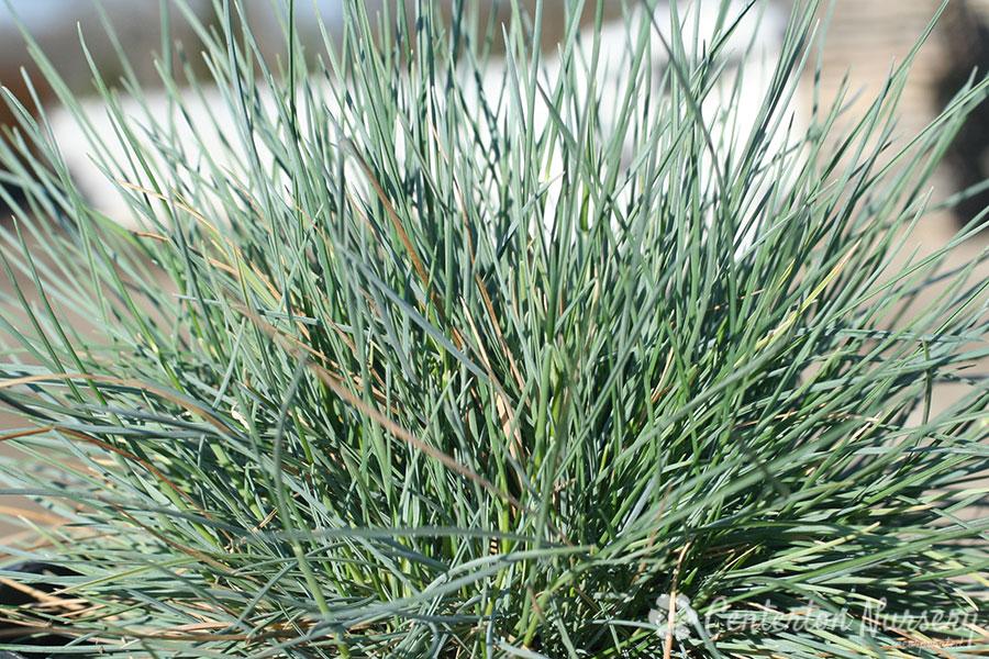 'Elijah Blue' Fescue Tuft Grass