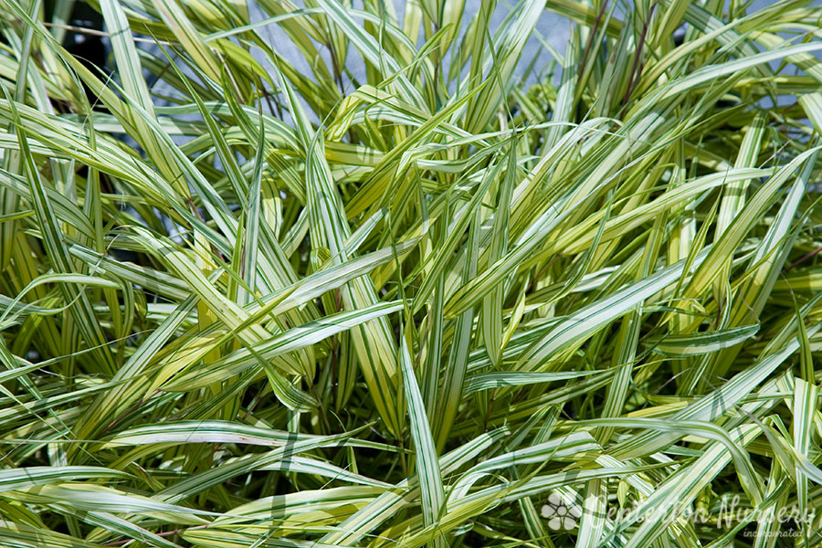 Variegated japanese forest grass for Variegated grass plant