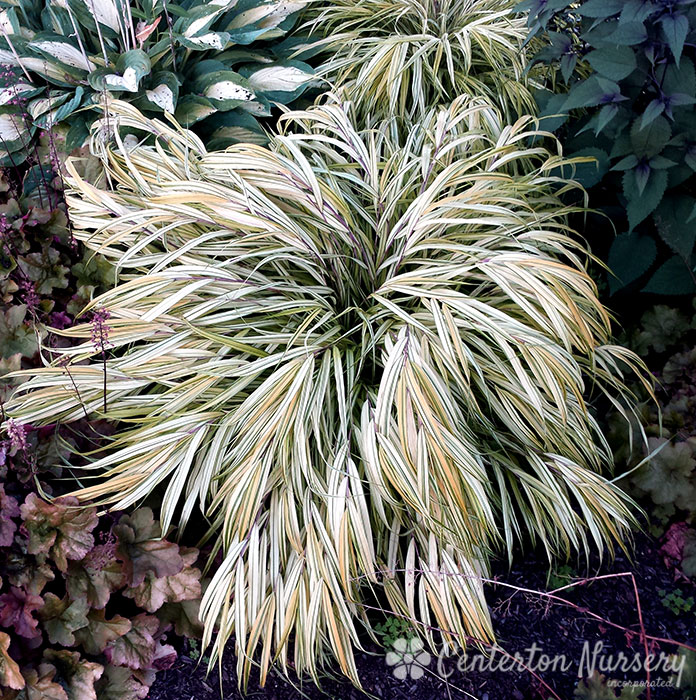 Variegated Japanese Forest Grass