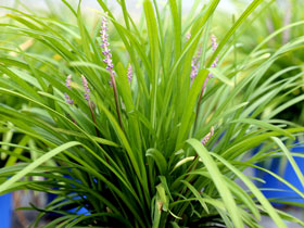 'Big Blue' Lily Turf Grass