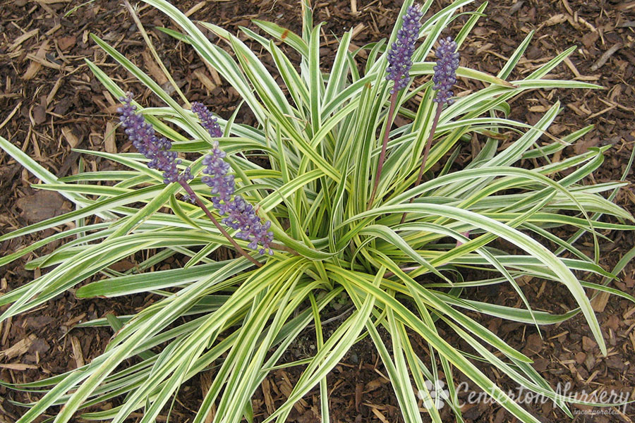 Variegated lily turf grass for Variegated grass with purple flower