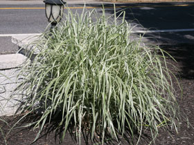 'Dixieland' Variegated Maiden Grass
