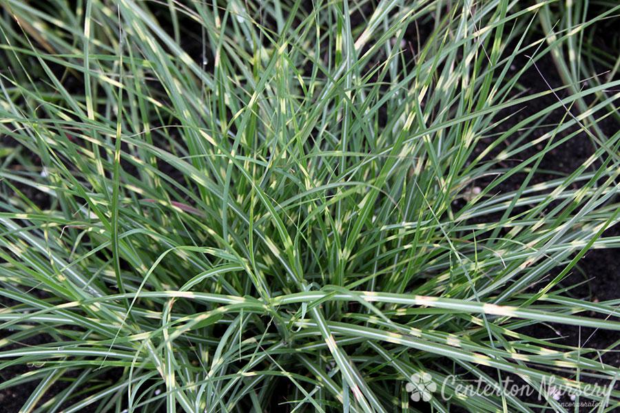 39 little zebra 39 maiden grass for Maiden grass