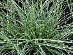 'Little Zebra' Maiden Grass