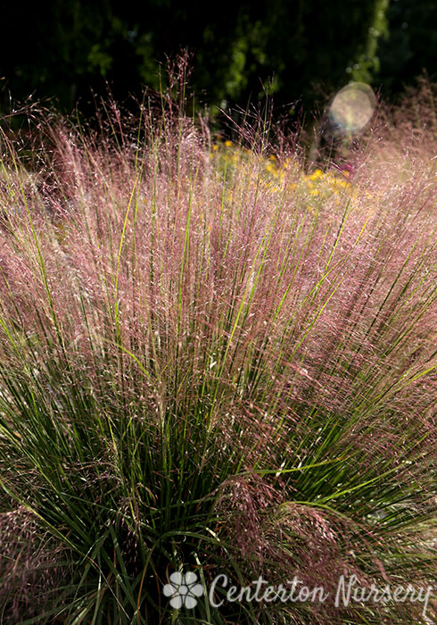 Undaunted™ Muhly Grass