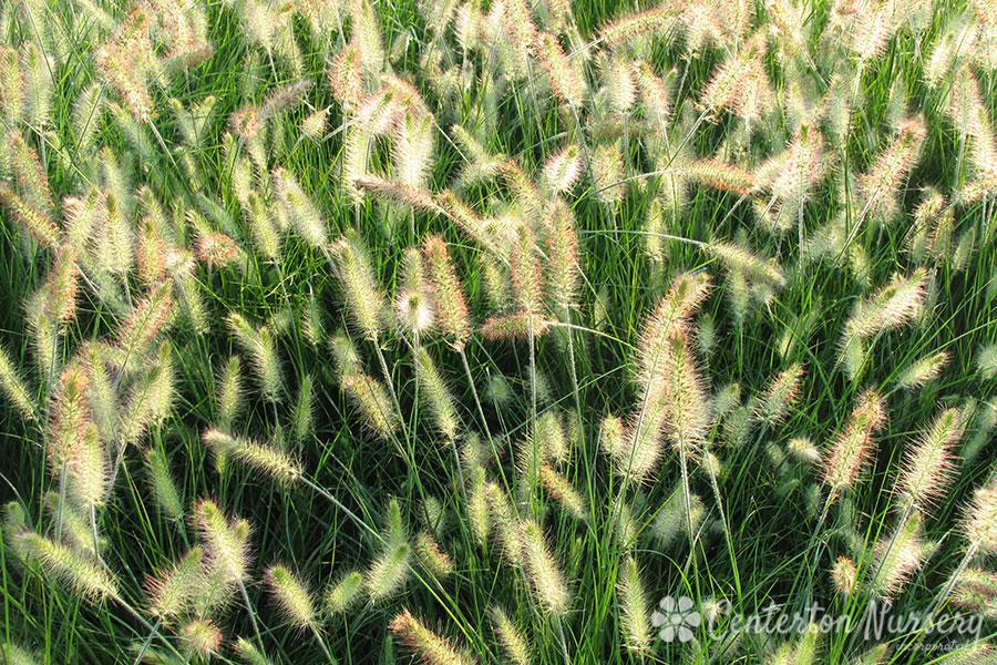 Hameln dwarf fountain grass for Fountain grass varieties