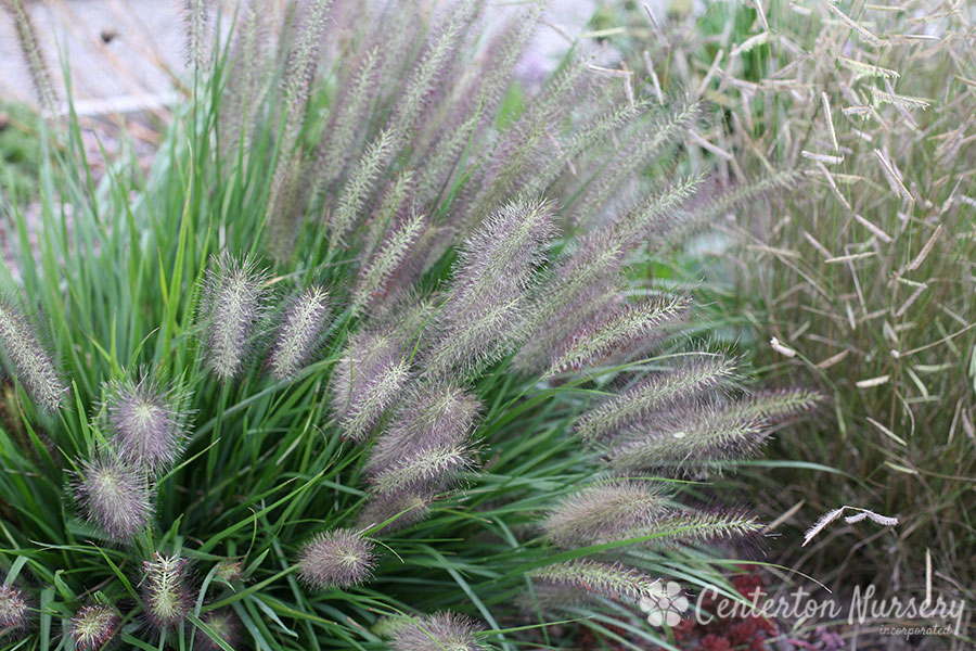 'Red Head' Fountain Grass