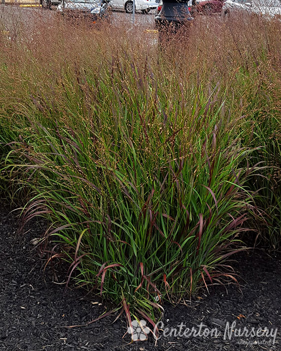 'Shenandoah' Switchgrass