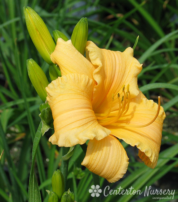 'Apricot Sparkles' Reblooming Daylily