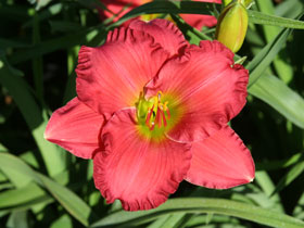 'Dynamite Returns' Reblooming Daylily
