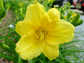 'Happy Returns' Reblooming Daylily