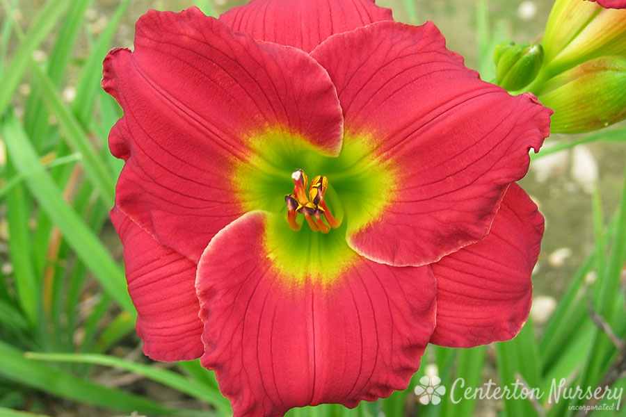'Red Hot Returns' Reblooming Daylily