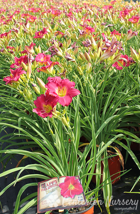 'Romantic Returns' Reblooming Daylily