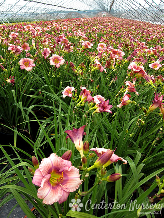 'Stephanie Returns' Reblooming Daylily