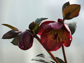 'Anna's Red' Lenten Rose