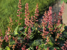 'Berry Timeless' Coral Bells