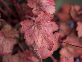 'Carnival Candy Apple' Coral Bells