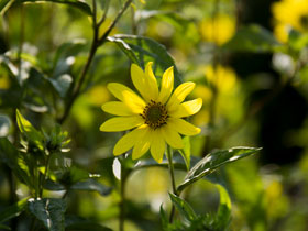 'Lemon Queen' Perennial Sunflower
