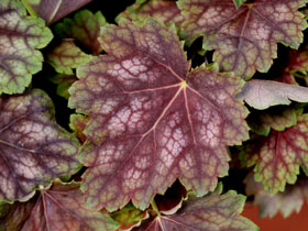 'Marvelous Marble' Coral Bells
