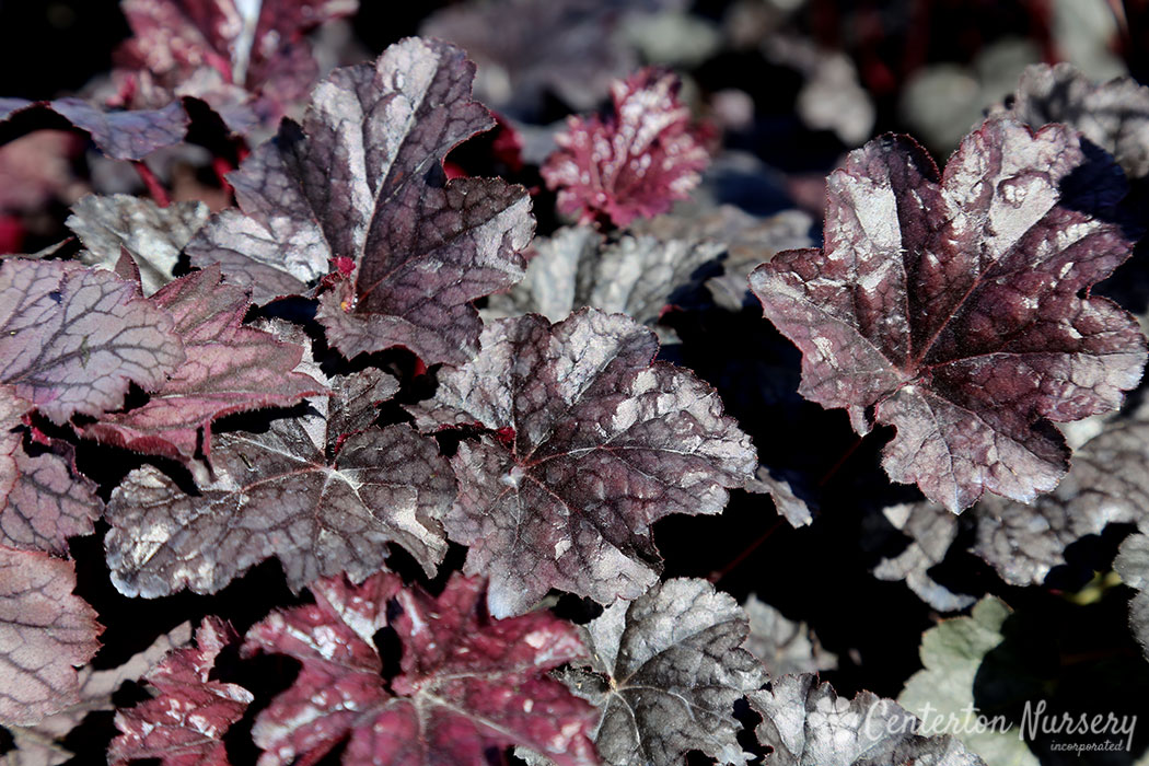'Plum Pudding' Coral Bells
