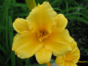 'Stella D'Oro' Multiple Repeat Blooming Daylily