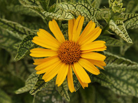'Sunstruck' False Sunflower