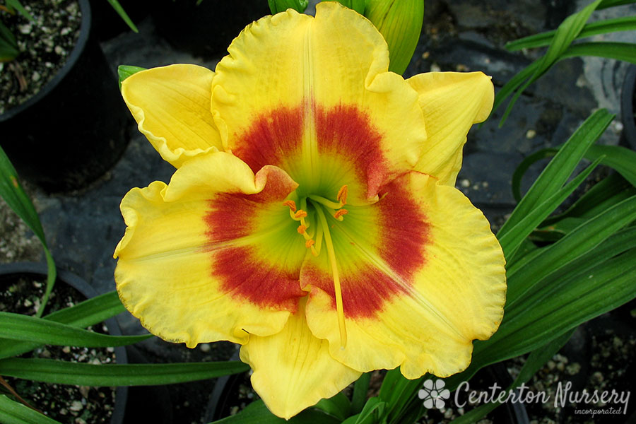 'Wings of Chance' Daylily