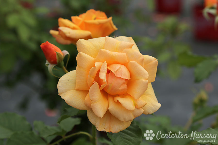 'Autumn Sunset' Climbing Rose