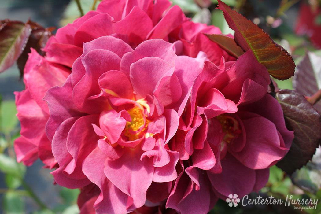 Cinco De Mayo Floribunda Rose