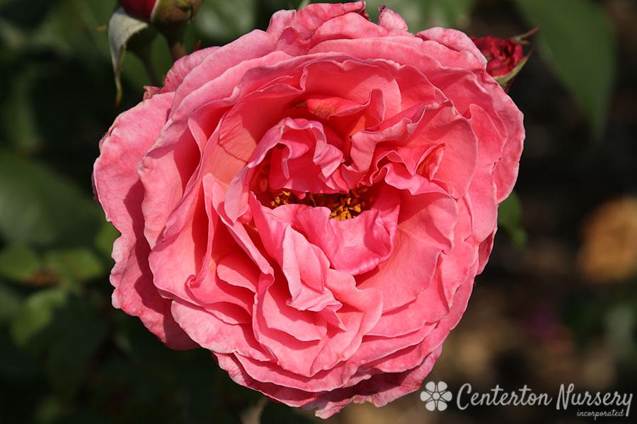 Dee Lish Hybrid Tea Rose