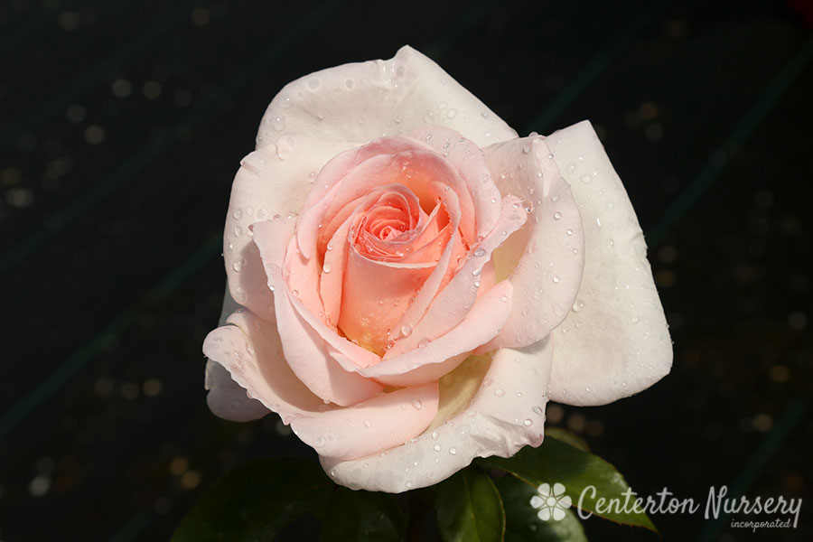 'Francis Meilland' Hybrid-Tea Rose